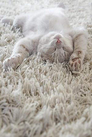 Bild Katze räkelt sich auf Teppich